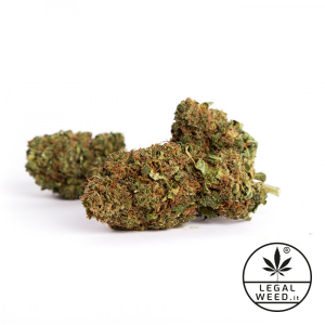 rosemery gold cannabis light legal weed