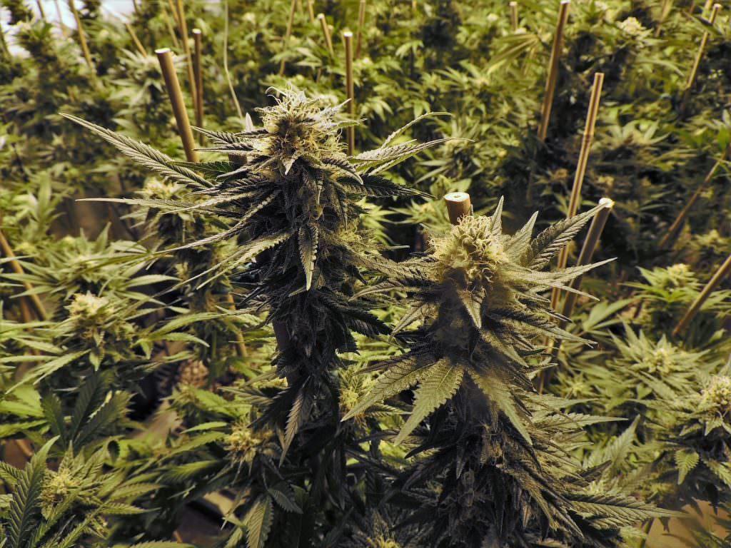 Uno studio rivela la cannabis light danneggia la criminalita organizzata