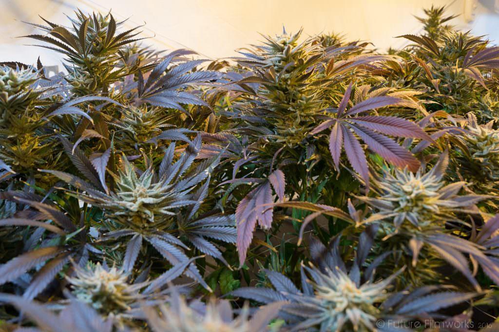 cannabis-legalizzazione-consumo