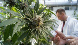 Monsanto e Bayer stanno cercando di conquistarne l industria della Cannabis