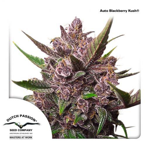 Auto Blackberry Kush Legal Weed