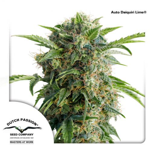 Auto Daiquiri Lime Legal Weed