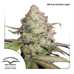 CBD Charlotte's Angel Legal Weed