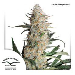 Critical Orange Punch Legal Weed