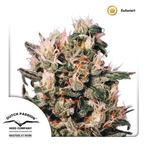 Auto Euforia Legal Weed