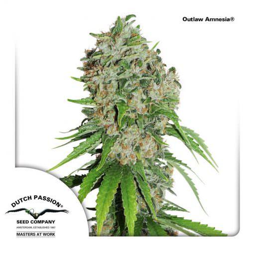 Outlaw Amnesia Legal Weed