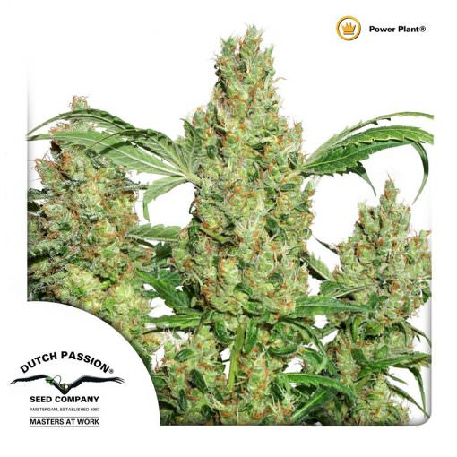 Power Plant Legal Weed
