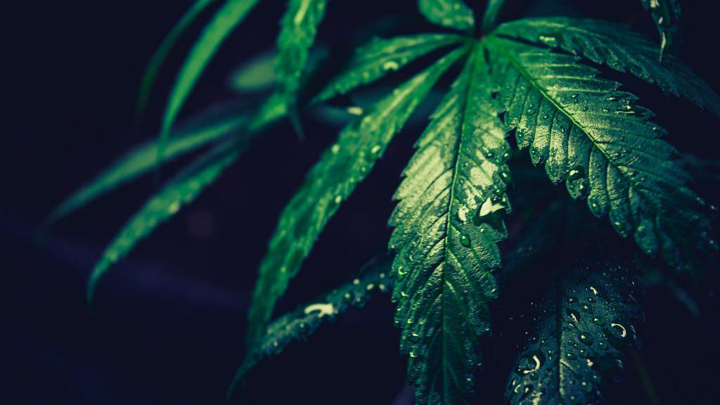 Il Tribunale di Modena conferma la liceità del commercio della cannabis ligh