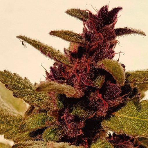 legal weed Auto Mandarine Purple Kush