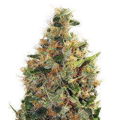 legal weed beatnikush