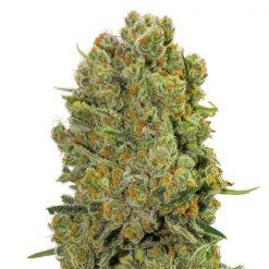 legal weed Equilibrium CBD