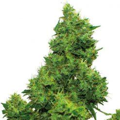 legal weed Kinder Kush