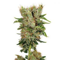 legal weed Montana Chem Dog