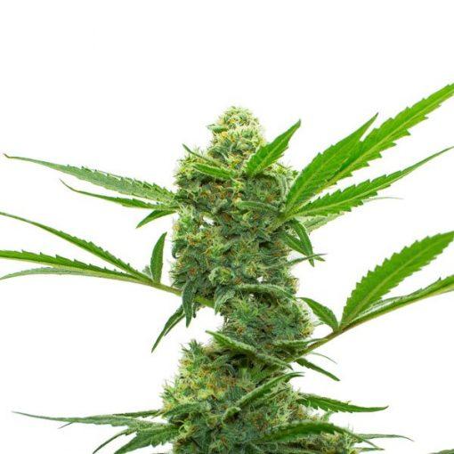 legal weed rampage