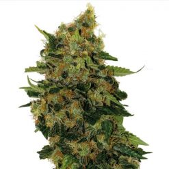 legal weed relax cbd