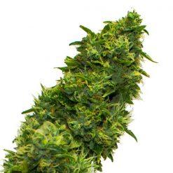 legal weed True monkey