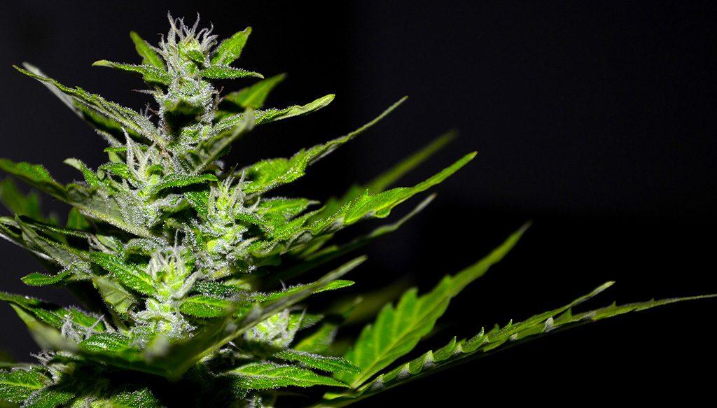 Cannabis Light vietata Le reazioni degli operatori del settore