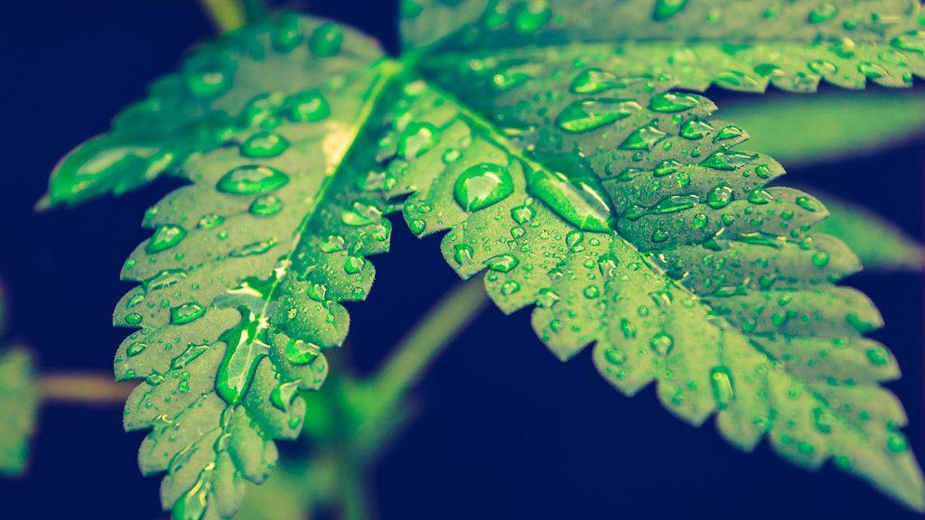 Legal Weed Mary Moonlight e CBWeed chiedono tutela sulla Cannabis Light