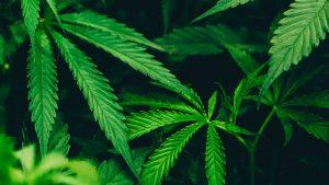 Cannabis per le infiammazioni della cute