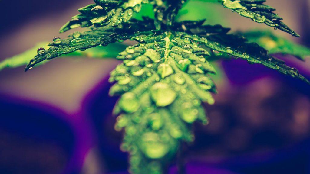 Cannabis Light Il Riesame di Ancona sotto lo 05 si può vendere