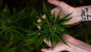 La cannabis light non è droga e venderla non è reato