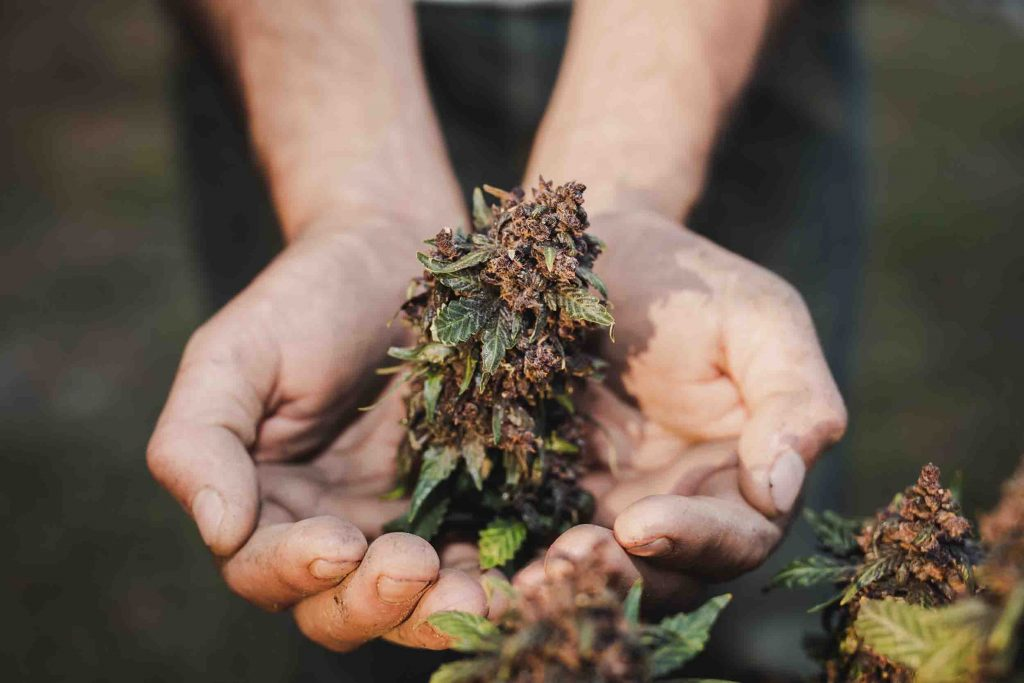 Tipi di marijuana