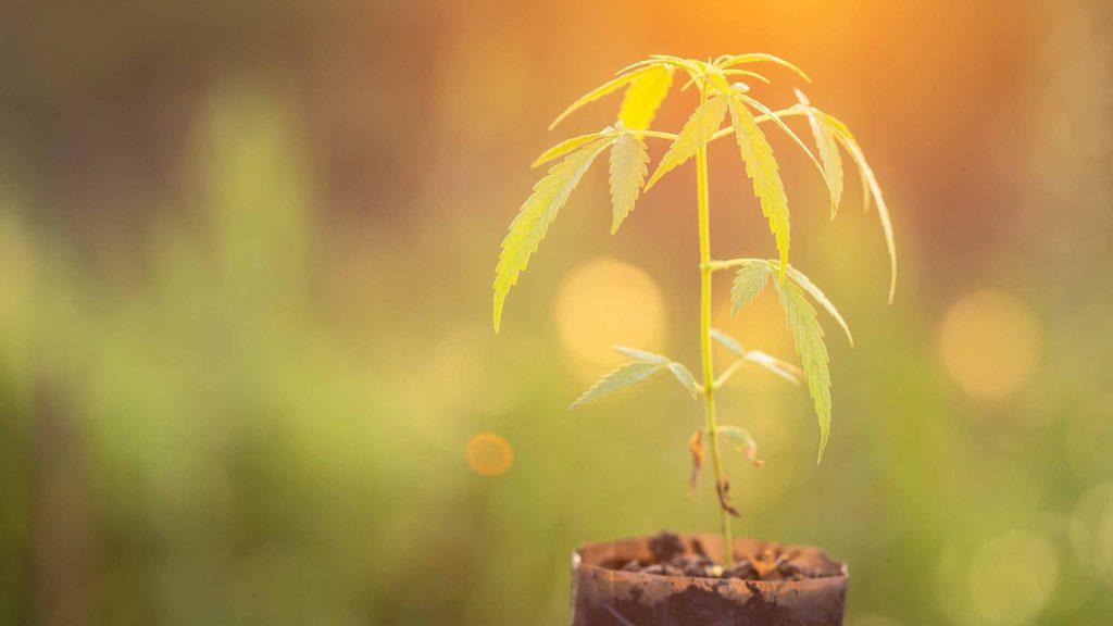 Coltivare cannabis in casa