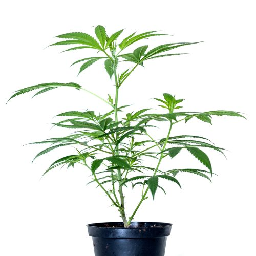 Amnesia pianta LEGAL WEED