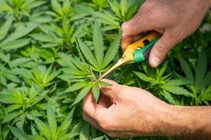 Raccogliere la cannabis